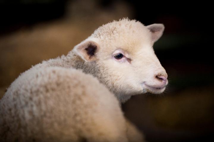 lamb_6710cn